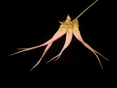 Bulbophyllum (longissimum x dayanum) (dwittkower) Tags: orchid flower flora orchids orchidaceae hybrid primary orquideas orchidée bulbophyllum bulbo flowersadminfave orqudea
