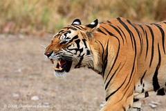 Angry Bengal Tiger ~ Kanha Tiger Reserve (The Eternity Photography) Tags: india tourism nature animal closeup forest canon mammal nationalpark asia wildlife tiger safari bigcat jungle angry 2009 sanctuary wwf wildlifesafari digitalphotography gamedrive bengaltiger madhyapradesh kanhatigerreserve carnivora kanha felidae centralindia indiatourism wildlifephotography wildindia indianwildlife kanhanationalpark incredibleindia iloveindia savethetiger pantheratigristigris angrytiger royalbengaltiger kanhawildlifesanctuary tigercloseup visitindia natureislovely santanubanik theeternity tigerinthewild savethewildlife flickrbigcats madhyapradeshtourism     kanhameadow kanhatrip iloveindianwildlife    wwwfrozenforeternitycom centralindiaforest