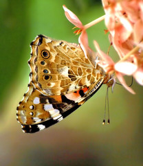 Painted Lady (ammadoux) Tags: