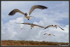 ~pure freedom...loving it!~EXploRER Aug 11th #201! (itsjustme1340-Ress) Tags: seagulls freedom coast texas gulls explorer flight blueskys ress