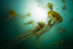 Dancing Medusae - Carmel, California (Jim Patterson Photography) Tags: ocean california light sea nature bay monterey jellyfish underwater pacific cove wideangle scuba diving fisheye carmel mystical dreamy magical pointlobos fins invertebrate diffuse aquatica temperate cnidaria seanettles tokina1017mm mbnms nikond300 montereybaynationalmarinesanctuary megadome beneathblueseas jimpattersonphotography carmelbayecologicalreserve goldendiamondblog jimpattersonphotographycom chrysaorafuscenscens seaseastrobe seatosummitworkshops seatosummitworkshopscom