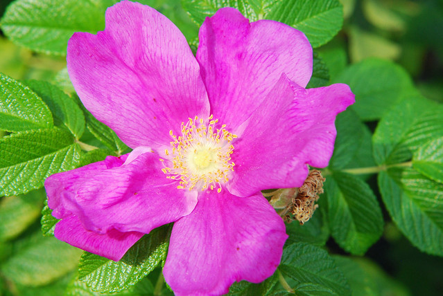 Purple Eglantine Flower