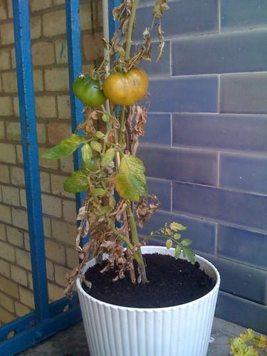 Poor tomato plant