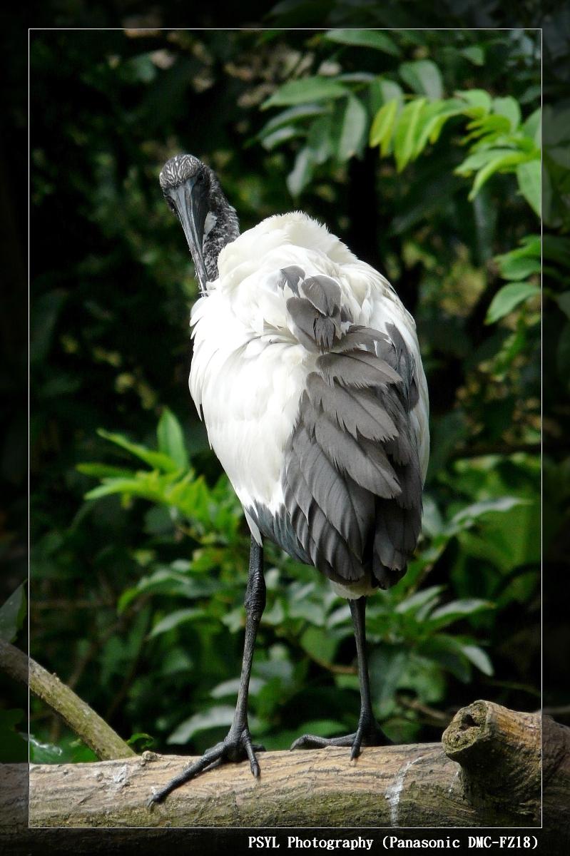 Sacred Ibis (Threskiornis aethiopicus) - 埃及聖鷺