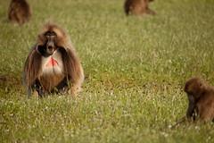 20090901-IMG_1612 (Robin100) Tags: africa animal mammal baboon ethiopia primate baboons gelada geladababoon guassa guassaplateau