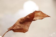 folha seca. (alineioavasso) Tags: plant death folha folhaseca challengeyouwinner duetos frenteafrente