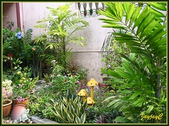 A section of our tropical garden with two potted Ptychosperma macarthurii (Cluster Palm, Macarthur Palm) in Sept 09