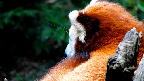 Firefox (red panda) [sep 16]