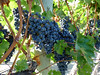 BC Wine Grapes