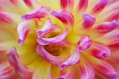 Dahlia Macro (Alberto_VO5) Tags: pink dahlia autumn usa flower macro fall garden newjersey nj autumncolors bloom 60mm nikkor 2009 gardenstate publicgarden northwildwood capemaycounty nikkor60mm 60mmf28 nikond60 herefordlighthouse gemsofnature hjhipster