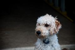 Curious Barney (bpwilby) Tags: usa dog house bar newjersey garage nj labradoodle barney mercercounty westwinsor