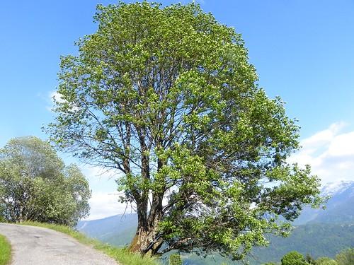 Salix caprea=Saule Marsault - Botanique Marthod 022