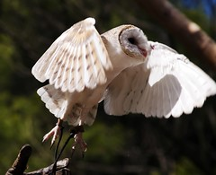 Release the Owls!! (Erik K Veland) Tags: show park animals speed fly wings wildlife flight beak australia sharp owl wise qld queensland wisdom tgif sanctuary claws barnowl currumbin takeflight twtme tytoalbadelicatula