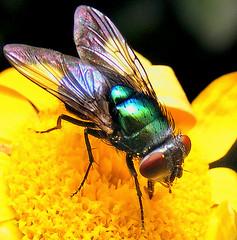 (Peter Panter) Tags: macro insect fly makro insekt fliege diamondclassphotographer multimegashot