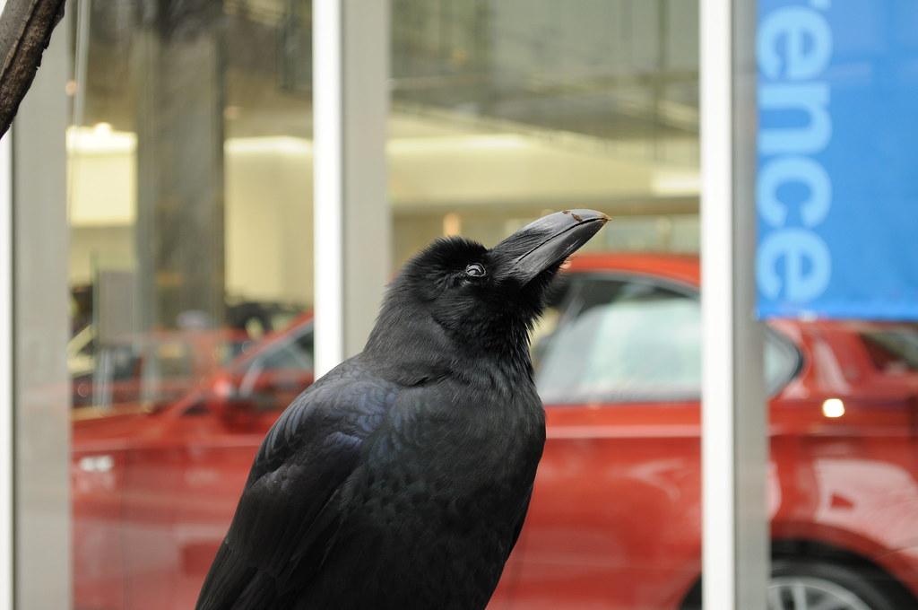 新宿のカラス A Crow
