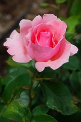 """Friends are the roses of life...pick them carefully and avoid the thorns.""  Anonymous (mimicapecod) Tags: roses flora rosegarden pinkflowers pinkroses hartfordct elizabethpark excellenceinfloralphotography delightfulroses roseshotssimplythebest vosplusbellesphotos happyprettypinktuesday"