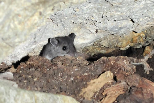 Curious White-footed Mouse