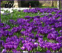 colori londinesi 4 (ludi_ste) Tags: park flowers parco flores london grass fleurs purple meadow violet blumen fiori viola parc prato londra stjames pr londre crochi