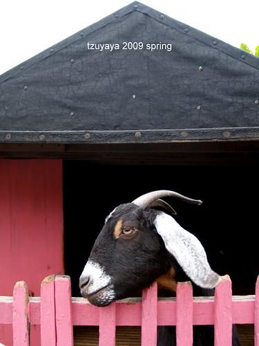原野牧場的羊