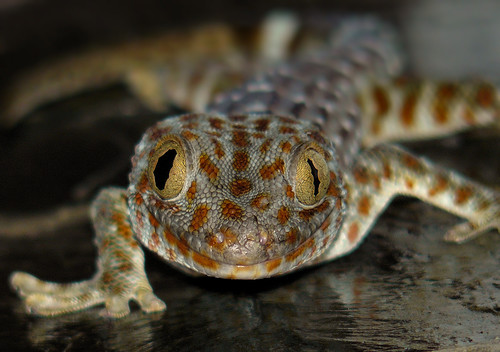 Golden Eye Gecko photo