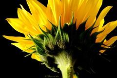 green, black, yellow (RedKenley) Tags: flora foliage sunflower canonxt onblack incandescentlight oneredshoe awesomeblossoms hairygitselite