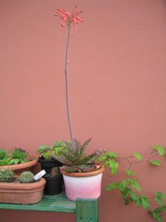 Aloe fiorita