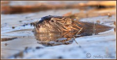 muskrat love..... (shellsnaps) Tags: nature animal rodent swamp muskrat hfg
