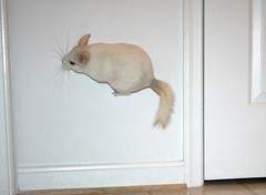 Super Powers (wisely-chosen) Tags: march jumping chinchilla lightning 2009 leaping picnik bouncing bouncingoffthewalls popcorning pinkwhitechinchilla