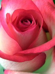 Red Roses for Love & Peace (FlowerXP) Tags: roses butterfliesandflowers masterphotos photogarden excellentphotographerawards saturnaward arealgem ilroseto thegoldenflower mindigtopponalwaysontop natur