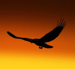 Crow on sunset (tinica50) Tags: sanfrancisco california s