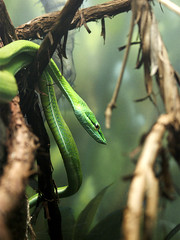 Green Vine Snake - Cleveland Zoo, Rain Forest (6566) (Creativeleigh Shot...by LeighAnneD) Tags: ohio green zoo snake wildlife cleveland clevelandmetroparkszoo greenvinesnake clemetzoo march282009