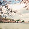 in bloom (*Peanut (Lauren)) Tags: washingtondc blossoms sakura cherryblossoms 2009 tidalbasin giftfromjapan