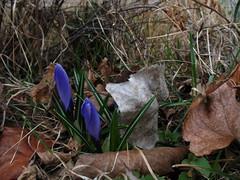 Spring (pirate johnny) Tags: flowers minnesota spring deadleaves crocus purplecrocuses