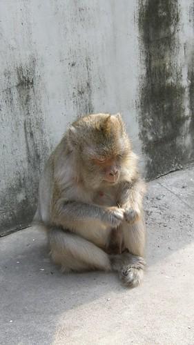 47.塔山(Wat Phnom)上的猴子很囂張