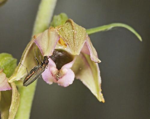 Epipactis, abreuvoirs à insectes 3738684392_56be96533c