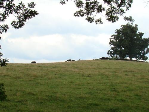 Biltmore Cows