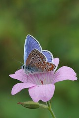 Common Blue butterfly - Amsterdam (IvoMathieuGaston) Tags: pink blue white black flower color colour macro green colors amsterdam butterfly petals wings nikon colours d70s spots commonblue naturegroup animalplanetgroup heartawardsgroup colourartaward butterflycolorgroup naturalmentegroup onlynaturegroup flickrstarsgroup highqualityimagesgroup amazingmacrosgroup butterfliesgroup worldofanimalsgroup nikonflickrawardgroup themodernimpressionistsgroup fotografiagroup hablahispanagroup colourartawardsgroup fotosconestilogroup nederlandbelichtgroup exquisiteworldofnaturegroup sensationalcreationsgroup macrosdenaturalezagroup beautifulshotgroup mallmixstarawardgroup enarmoniaconlanaturalezagroup patagonicagroup macroworldgroup flowersinsectsandbutterfliesgroup gardenparadisegroup lovetheworldofnaturegrop creativemomentsgroup floresgroup butterflybeautygroup butterflygallerygroup