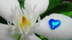 Peaceful - Wrightia (Artic Snow) / ดอกพุดพิชญากับหัวใจแห่งความสงบ