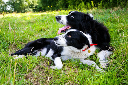 Clyde, a blind border collie, with his assistance dog Bonnie. The two dogs are lying on the grass together.