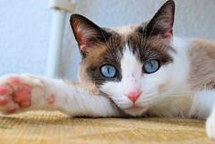 Briciola (chris.f) Tags: cats animals cat relax tiere felino felini katze gatto katzen gatti animali briciola nikond60