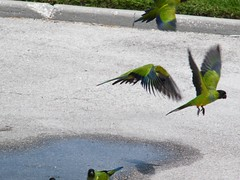 hoh cb (dmathew1) Tags: nature birds florida wildlife parrot largo parrots clearwater walsinghampark floridabotanicalgarden