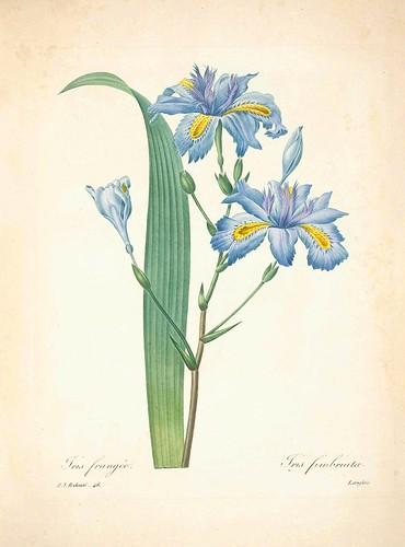 Iris fimbriata