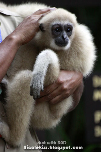 golden gibbon