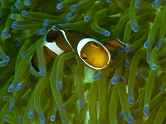 Western clown anemonefish (1) (Paul Flandinette) Tags: ocean fish macro photography underwater borneo kotakinabalu sabah anemonefish underwaterphotography falseclownanemonefish westernclownanemonefish beautifulfish tunkuabdulrahmanmarinereserve amphiprionoccellaris paulflandinette