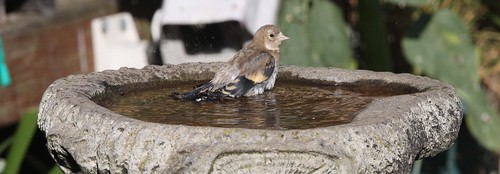 Goldfinch at the Bird Bath