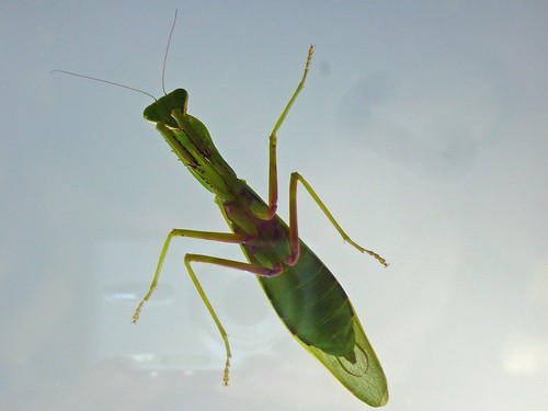 Praying Mantis on kitchen door