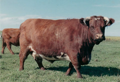 Shorthorn Cow (c.1960's) (David Scarth) Tags: beef herd shorthorns cavans
