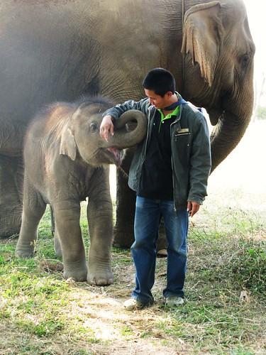 Baby Elephant- Elephant Nauture Park, Chiang Mai, Thailand