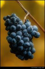 Fruit of the vine (cienne45) Tags: carlonatale cienne45 natale italy vigna uva vine fruitofthevine colorphotoaward friends spiritofphotography artonflickr