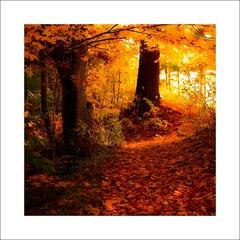 Carpette d'automne sur mon sentier près de ma ...